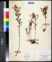 Lechea intermedia image