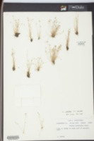 Image of Scirpus molestus
