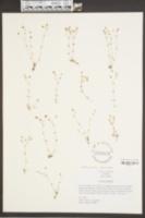 Mononeuria uniflora image