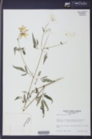 Bidens polylepis image