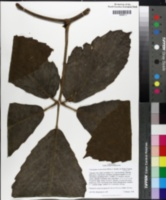 Image of Tetrastigma voinierianum