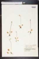 Image of Primula sibirica