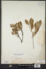 Prunus susquehanae image