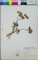 Image of Senecio articulatus