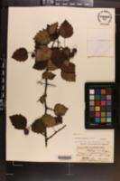 Crataegus angulata image