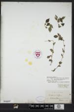 Parietaria judaica image