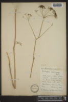 Eulophus americanus image