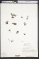 Podostemum ceratophyllum image