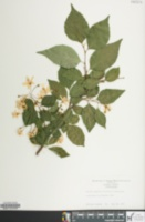 Image of Styrax japonicus