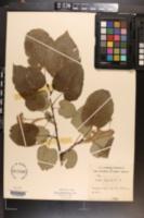 Tilia americana var. heterophylla image