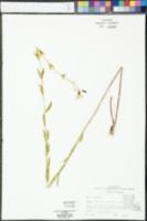 Rhexia alifanus image