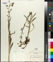 Image of Hackelia jessicae