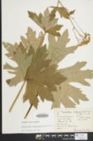 Trautvetteria caroliniensis image