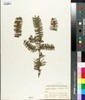 Cephalotaxus oliveri image