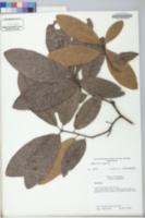 Quercus broteroi image