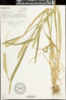 Image of Triticum durum