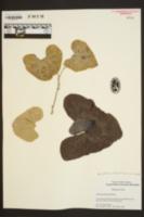 Aristolochia labiata image