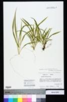 Dichanthelium strigosum image