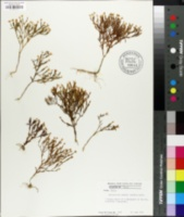 Image of Centaurium texense