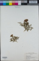 Tagetes erecta image