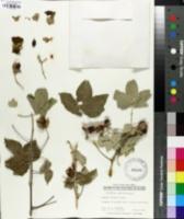 Image of Gossypium tomentosum