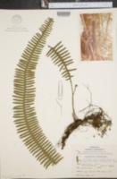 Image of Polypodium taxifolium