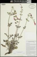 Salvia henryi image