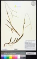 Axonopus furcatus image