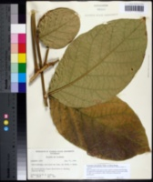 Image of Fernandoa adenophylla