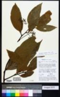 Image of Nectandra globosa
