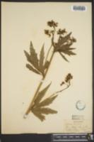 Napaea dioica image