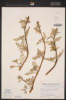 Ambrosia chamissonis image