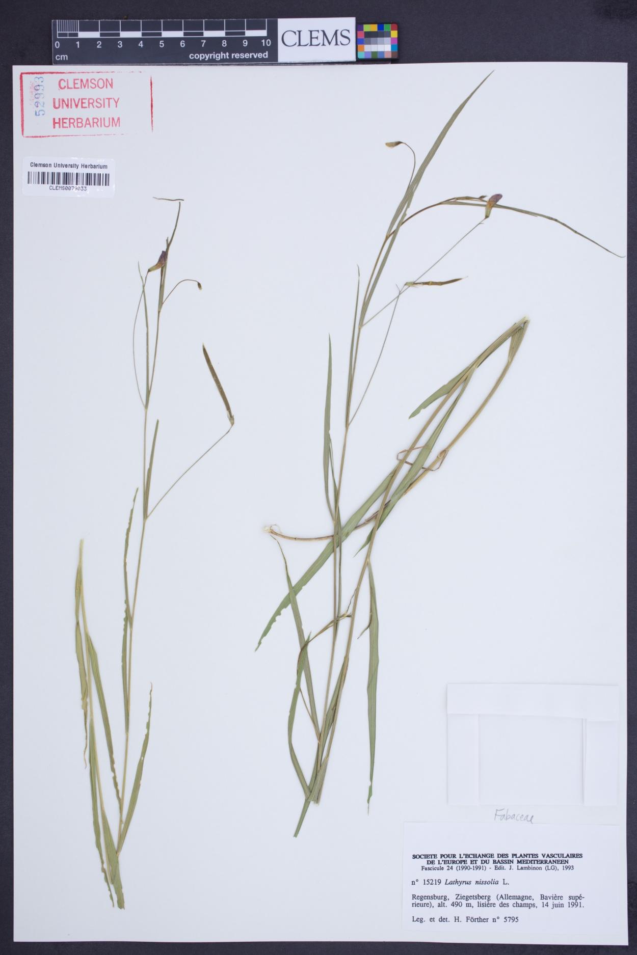 Lathyrus nissolia image