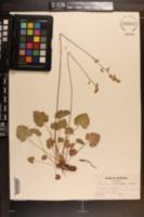 Image of Heuchera flabellifolia