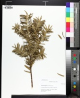 Torreya nucifera image