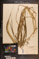 Pennisetum glaucum image