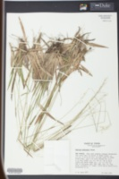 Image of Panicum nudicaule