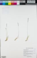 Image of Festuca minutiflora