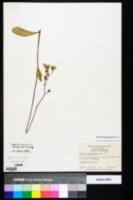 Image of Hieracium megacephalum