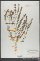 Hedeoma acinoides image