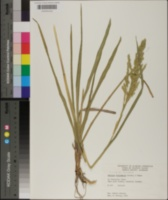 Panicum rhizomatum image