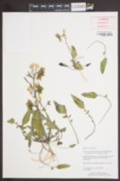 Chylismia claviformis subsp. integrior image