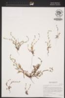 Plagiobothrys collinus image