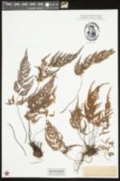 Asplenium adiantum-nigrum image