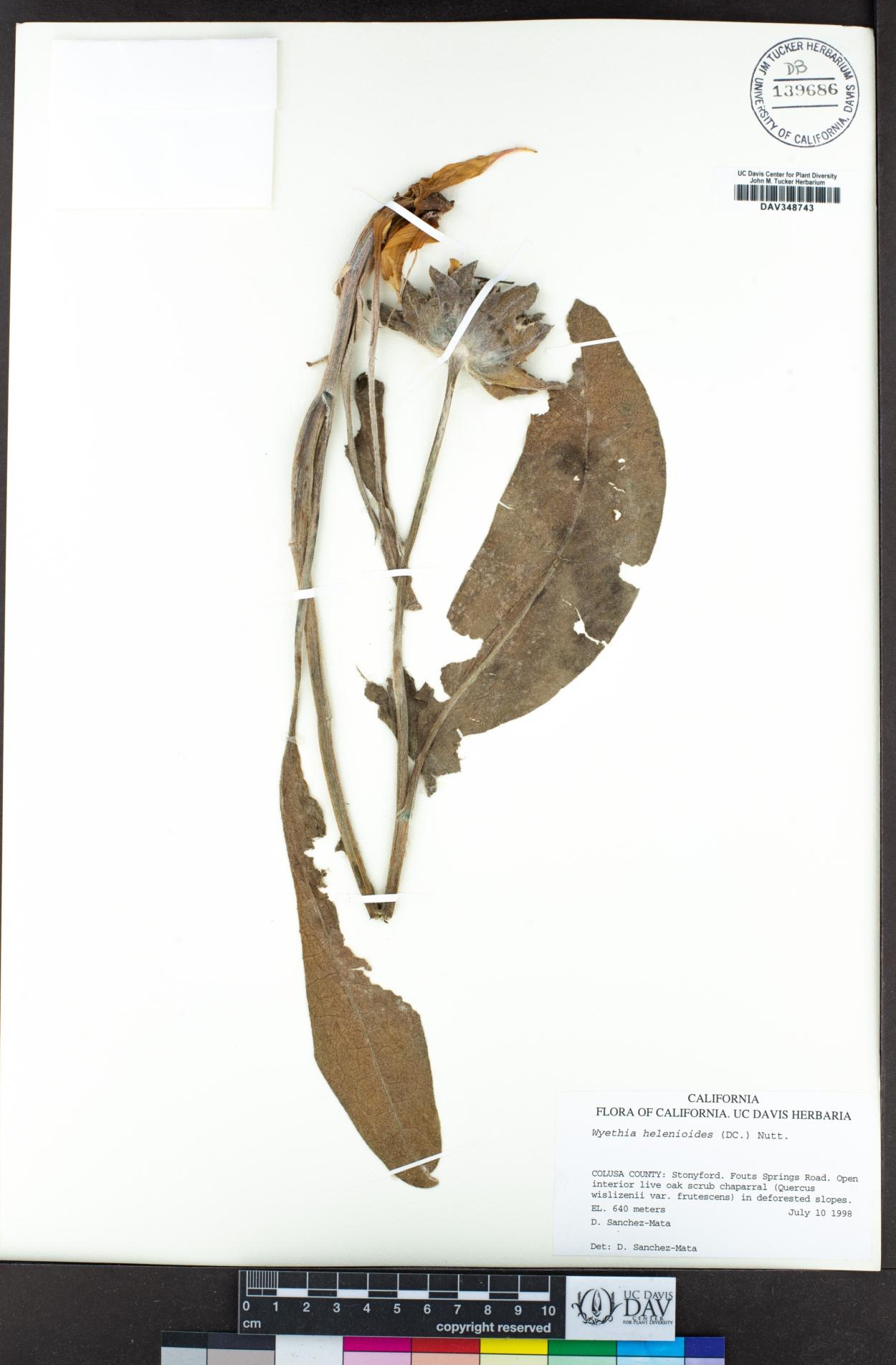 Wyethia image