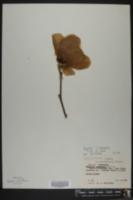 Magnolia liliiflora image