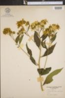 Bidens coronata var. tenuiloba image