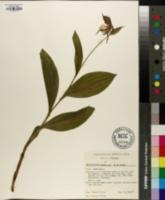 Image of Cypripedium × andrewsii