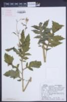 Image of Erechtites valerianifolius
