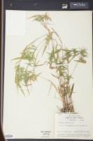 Panicum nitidum image